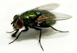 lalat-1